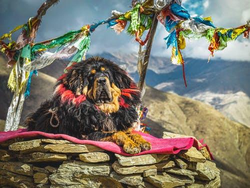 najdroższy pies świata mastiff tybetański